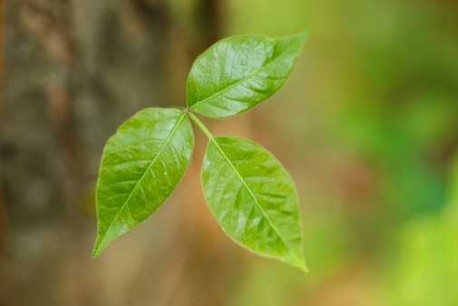 What you need to know about poison ivy
